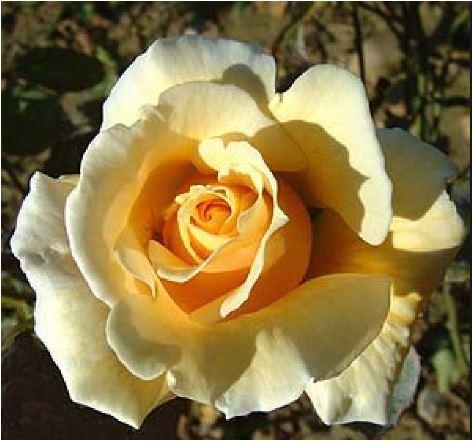 Joanna Hill tea roses