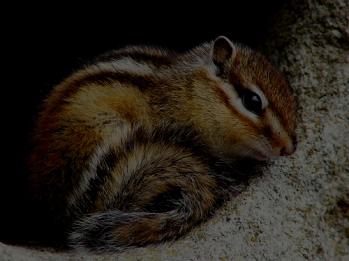 chipmunk resting