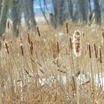 cattails autumn