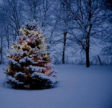 spruce-tree