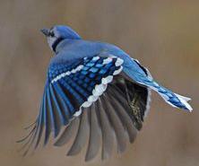 blue-jay-3