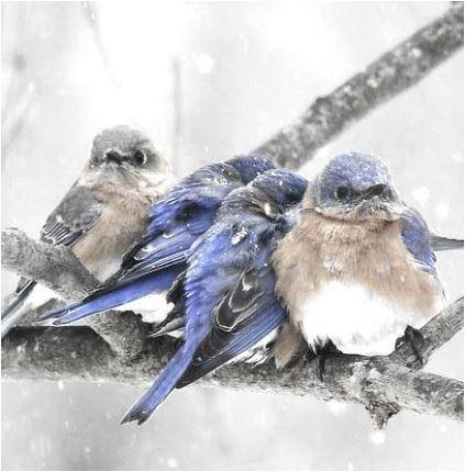 snowstorm bluejays