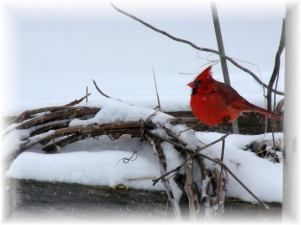 winter-bird-cardinal