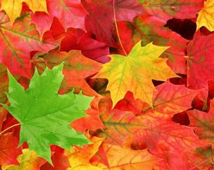 maple multi leaves
