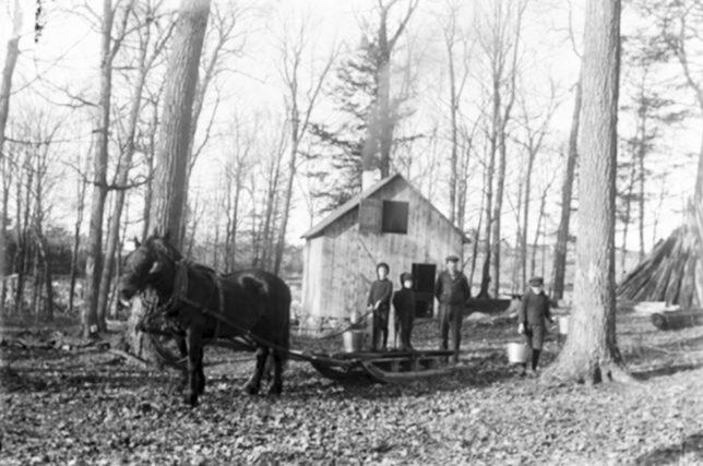 Horse and Sleigh maple bush