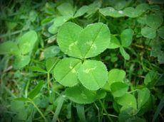 4 leaf clovers