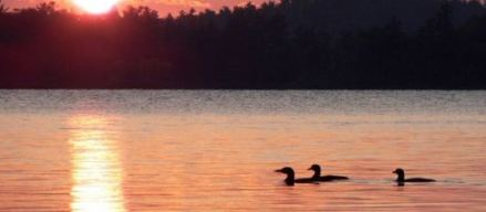 loons on lake